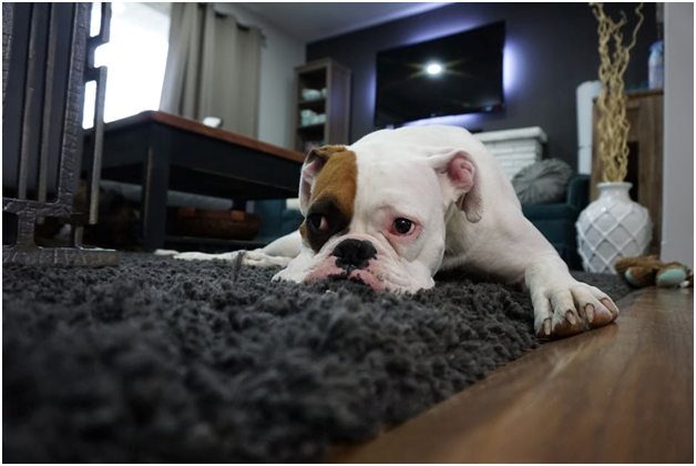 Cute Pets, Don't Care? A Carpet Cleaning Service Will Make You